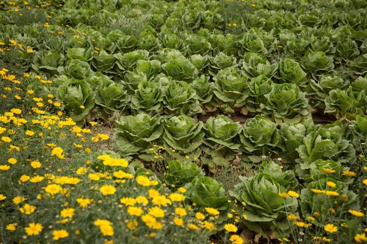 חקלאות שדה גידולים חסה נגב דרום