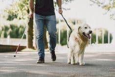 כלב נחייה עיוור בעל מוגבלות